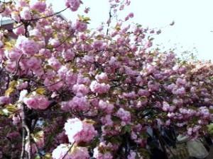 zouheikyoku sakura